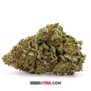 G13 also called Government Indica Strain has been crossed with Haze, creating a strain that provides uplifting sensations alongside heavy-hitting body effects. G13 was bred for maximum potency and renowned for its medical utility, and it's definitely not recommended for beginners.